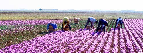 تحقیق درباره زعفران و زراعت زعفران